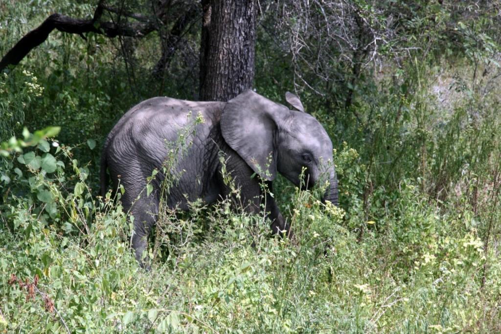 Elefantenbaby im Krüger Park