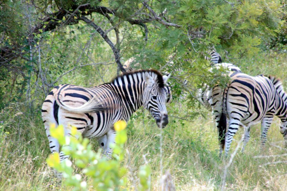 Zebras im Krügerpark