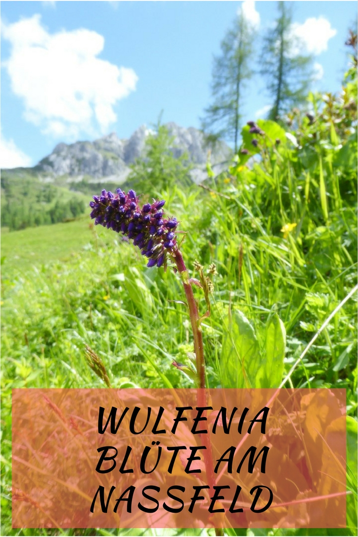 Wulfenia Blüte am Nassfeld