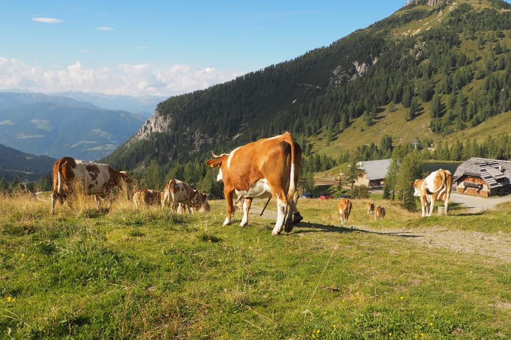 Die Kuh: Sinnbild für die Alm