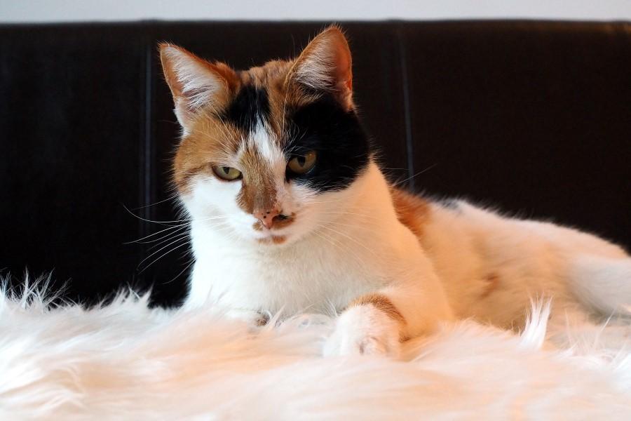 Katze Calico