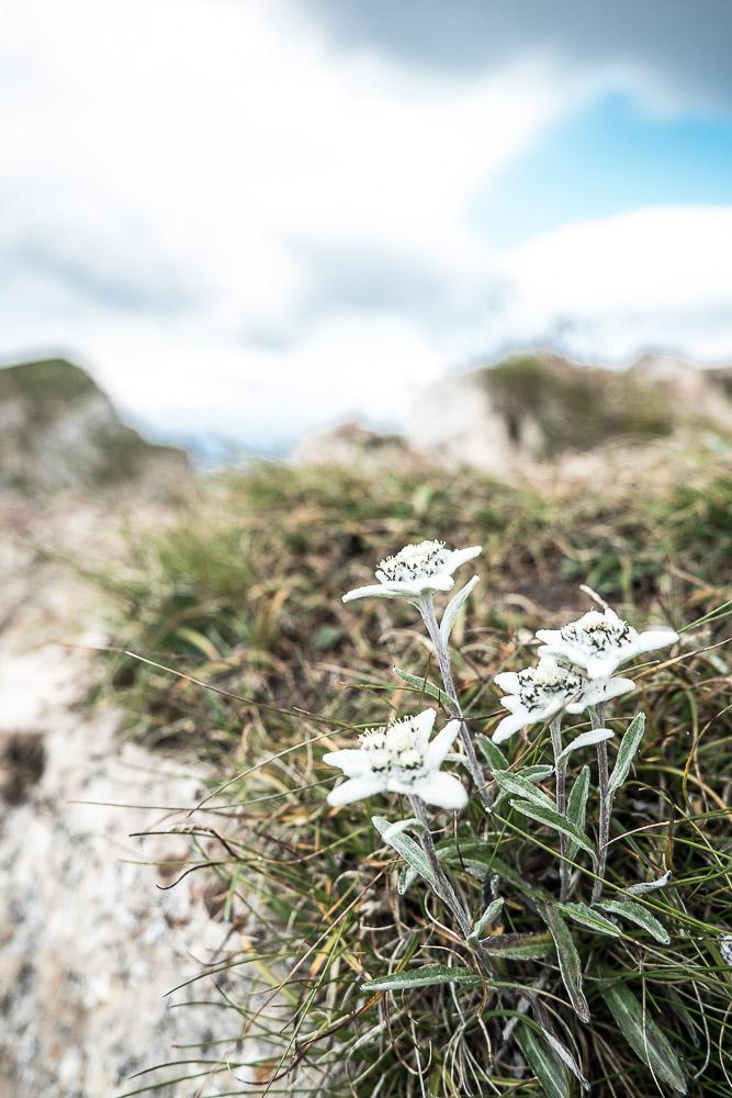 edelweiss-wandern-südtirol
