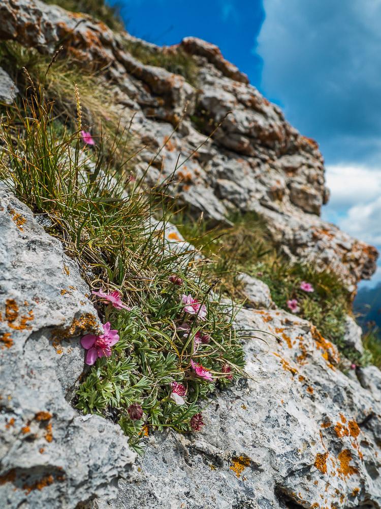 Bergblumen-Südtirol