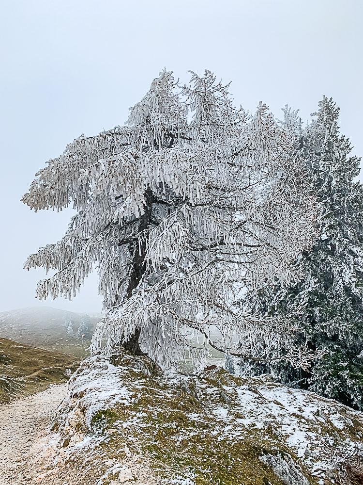 baum-frost-dobratsch